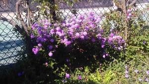 Purple_flowers3