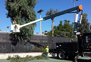 Arborists trim eucalyptus trees